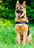 picture of working-dogs  - Obedience training - JPG