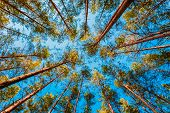 pic of canopy  - Looking Up In Spring Pine Forest Tree To Canopy - JPG
