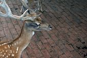 pic of zoo  - Deer in the Zoo park - JPG