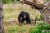 foto of chimp  - Cute young chimp playing around in nature - JPG