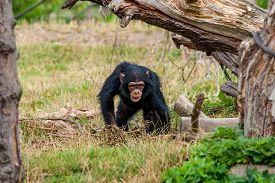 picture of chimp  - Cute young chimp playing around in nature - JPG