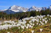 picture of wildflowers  - wildflower meadow with early spring crocus geroldsee and karwendel mountains scenic spring landscape germany - JPG