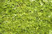 pic of green algae  - Green wet algae Cystoseira on sunny beach - JPG