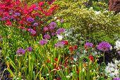 image of azalea  - Colorful azalea garden with purple allium flowers as well - JPG