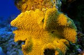 picture of bottom  - coral reef with great yellow mushroom leather coral at the bottom of tropical sea - JPG