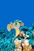 stock photo of bottom  - coral reef with mushroom leather coral at the bottom of tropical sea underwater - JPG