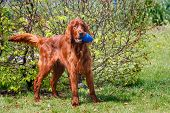 pic of irish  - Standing obedient irish setter with blue ball in mouth - JPG