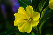 picture of primrose  - A bright yellow evening primrose flower closeup with drops of dew morning sun lit blurred background - JPG