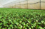 pic of greenhouse  - Organic greenhouse. A look into a greenhouse ** Note: Shallow depth of field - JPG