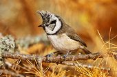 stock photo of tit  - crested tit perched on a branch of larch in autumn - JPG