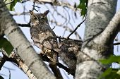 picture of owl eyes  - Great Horned Owl Making Direct Eye Contact with You - JPG