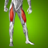 foto of human muscle  - Concept or conceptual 3D human upper leg anatomy or anatomical and muscle on green gradient background - JPG