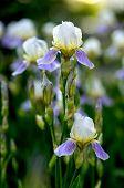 foto of purple iris  - Close - JPG