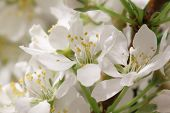 picture of thalamus  - Mayflower flower - JPG