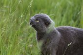 picture of scottish-fold  - Gray Scottish fold kitten  on the green meadow - JPG