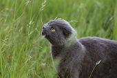 stock photo of scottish-fold  - Gray Scottish fold kitten  on the green meadow - JPG