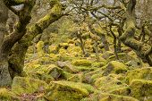 picture of contortion  - Image of twisted trees and moss covered rocks in Padley Gorge in the Peak District - JPG