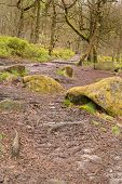 pic of contortion  - Image of twisted trees and moss covered rocks in Padley Gorge in the Peak District - JPG