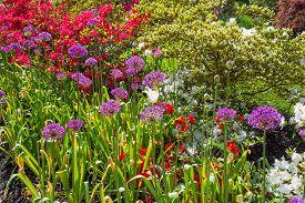 picture of azalea  - Colorful azalea garden with purple allium flowers as well - JPG