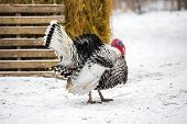 Beautiful Turkey Bird At Farm On Winter Season Background , Close Up poster