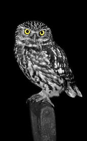 pic of owl eyes  - little owl standing on a garden fork - JPG