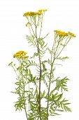 stock photo of tansy  - inflorescence of yellow tansy herb on white background - JPG