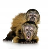 picture of baby-monkey  - Two Baby Capuchins  - JPG