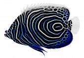 stock photo of angelfish  - Emperor Angelfish isolated in white background - JPG