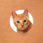 Cute little orange tabby kitten playing in a cardboard box poster