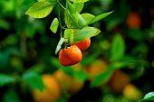 foto of mandarin orange  - Orange farm in Cyprus - JPG