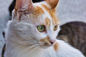 Close-up Photo Of Yellow And White Stray Cat, Beautiful Female Cat With Yellow Eyes poster