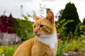 Nice Portrait Of A Ginger Or Orange Marmalade Tabby Cat Enjoying Some Peace And Quiet In His Garden  poster