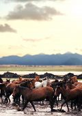 Close up herd of wild horses running in water over countryside landscape poster