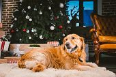 Golden Retriever Dog In Christmas. Cute Dog On Christmas Tree Background. Christmas Dog Retriever Ly poster