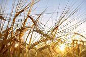 Barley Field. Ears Of Barley. Beautiful Sunset Landscape. Background Of Ripening Ears. Ripe Cereal C poster
