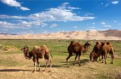 stock photo of quicksand  - camels on oasis and sand dune desert  - JPG