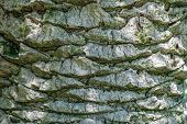 Large Trunk Of A Palm Tree With A Detailed Image Of The Structure Of The Bark Of A Tree. Background  poster