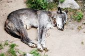 Sleeping Timberwolf, Canis Lupus Lycaon, Also Called Eastern Wolf, Great Lakes Wolf Or Algonquin Wol poster