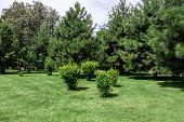 Well Maintained Park With Meadow Green Grass And Pine Trees In Green Spaces, Sunny Summer Park With  poster
