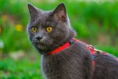 Portrait Of Beautiful Young British Blue Shorthair Cat In Harness.  Purebred Gray Cat With Yellow Ey poster