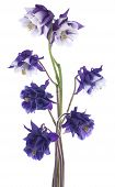 picture of columbine  - Studio Shot of Blue Colored Columbine Flowers Isolated on White Background - JPG