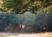 foto of cervus elaphus  - Group of red deer stags in landscape on misty foggy morning - JPG
