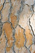Detail Of Bark Of Mediterranean Pine