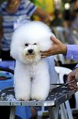 stock photo of bichon frise dog  - A small beautiful and adorable white bichon frise dog being groomed and having its coat trimmed by a professional groomer using special products and making its coat clean and fluffy - JPG