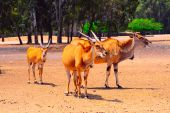 foto of eland  - Eland Taurotragus oryx Is The Largest Of All Antelopes - JPG