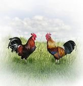 stock photo of fighting-rooster  - Two Colorful Roosters Ready To Fight - JPG
