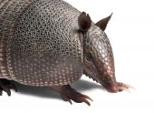 pic of armadillo  - Mulita Armadillo of six bands on to white background. ** Note: Shallow depth of field - JPG