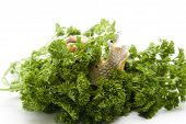 picture of escargot  - Fresh parsley with escargot on white background - JPG