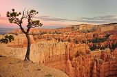Tree In Bryce Canyon  Usa