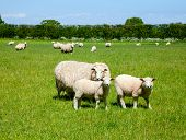 stock photo of husbandry  - Sheep with lambs at a pasture in England - JPG